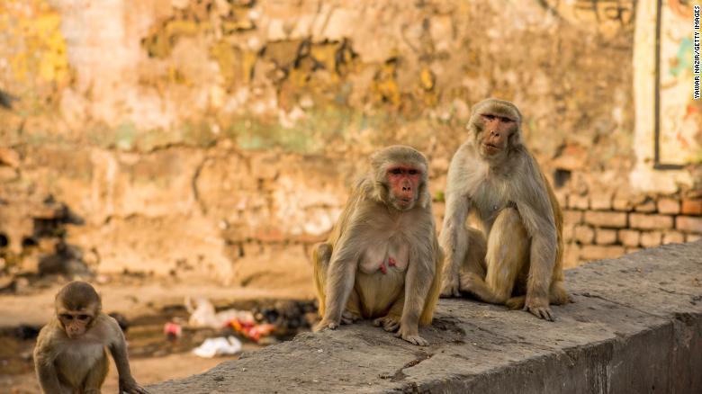 Monkeys giving residents Sleepless Nights