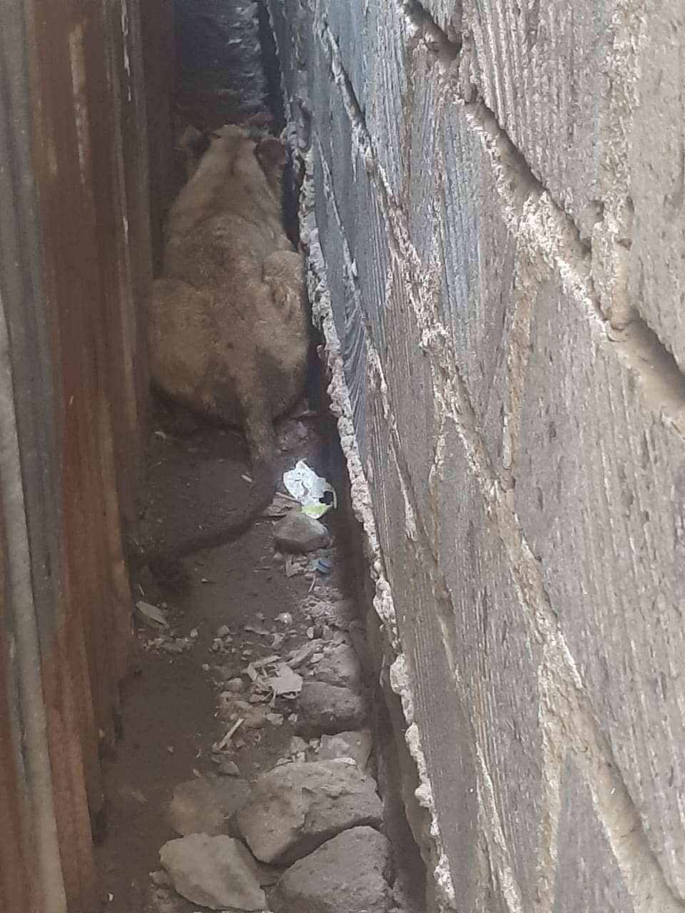 Graphic Video: Lion found in a plot in Ongata Rongai